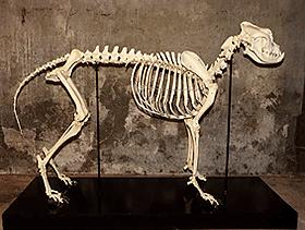Skelet hond anatomie